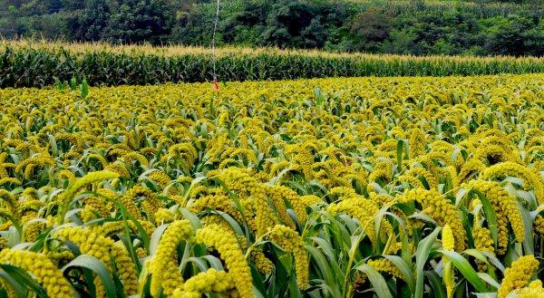 马莲台自家种的小米,原生态,,无公害,香软粘稠,米油多,便宜